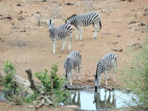 SOUTH AFRICA: Andy's Camp at the Waterhole – Phalaborwa