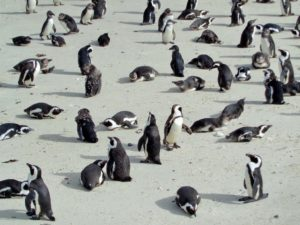 SOUTH AFRICA: Boulders Penguin Colony – Simon´s Town